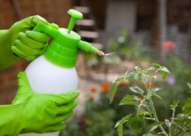 Опрыскивание кустов томатов водным раствором йода из ручного распылителя