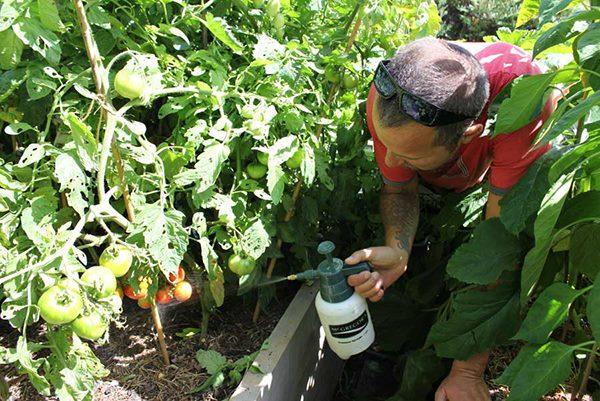 Обработка листьев помидоры от фитофторы из ручного опрыскивателя