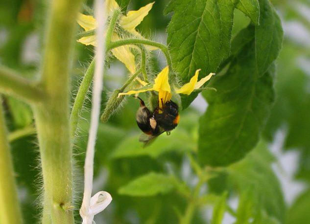 Пчела собирает нектар и опыляет желтый цветок помидоры