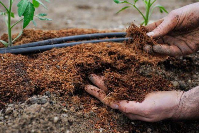 Мульчирование органикой поверхности земли вокруг рассады помидоры