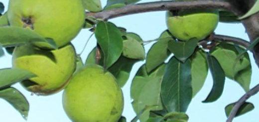 Гроздь плодов Осенняя Яковлева на ветке дерева груши