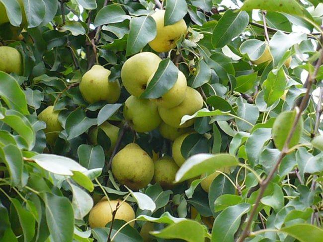 Груши зеленого окраса на ветках взрослого дерева сорта Осенняя Яковлева