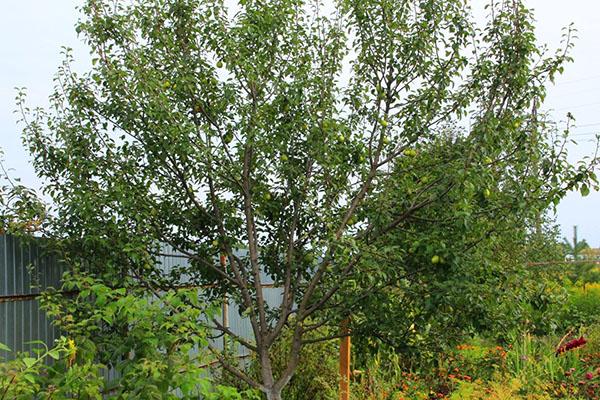 Взрослое дерево груши гибридного сорта Осенняя Яковлева