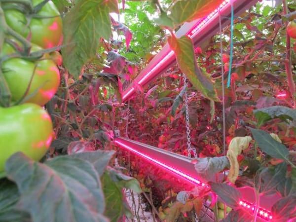 Освещение теплицы с помидорами посредством инфракрасных источников света