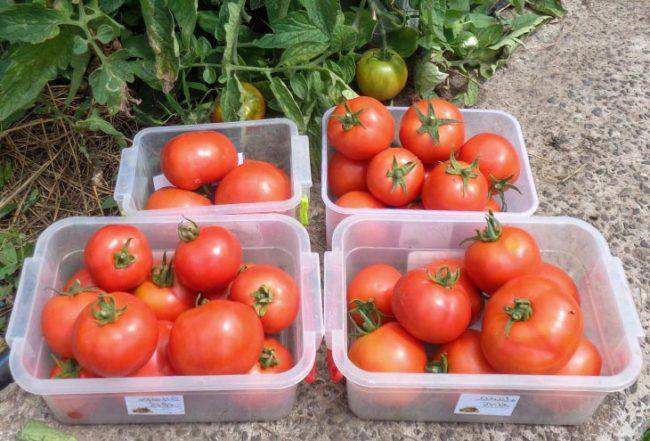 Плоды красных томатов, отобранные для сбора семян у себя дома
