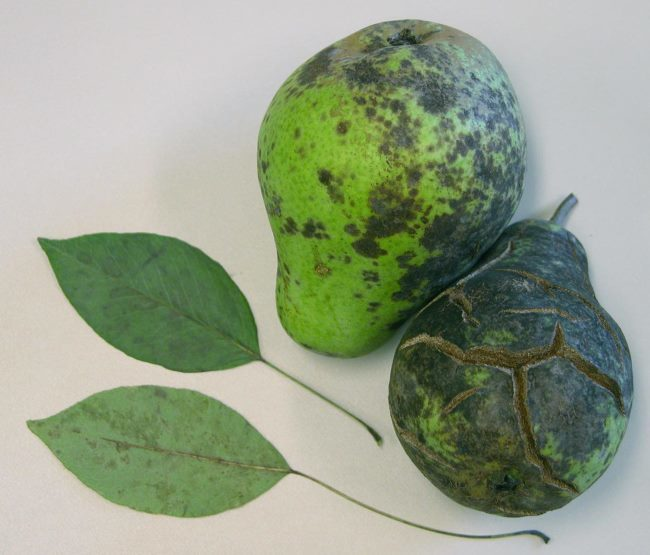 Листья и плоды груши с признаками поражения паршой
