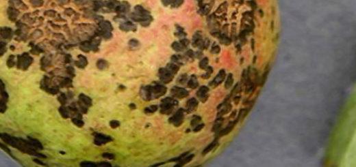 Парша на груше на плоде болезнь