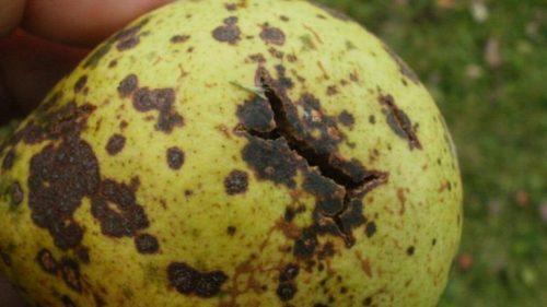 Трещина на плоде груши, зараженной паршой
