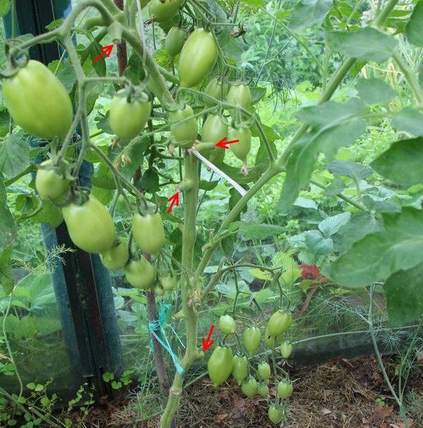 Высокий куст помидоры с пеньками от пасынков, удаленных до цветения