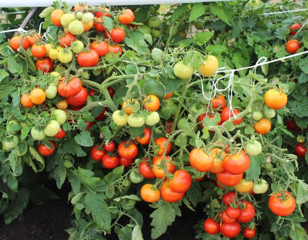 Задержка окраски помидор в красный цвет из-за перегрузки куста завязями