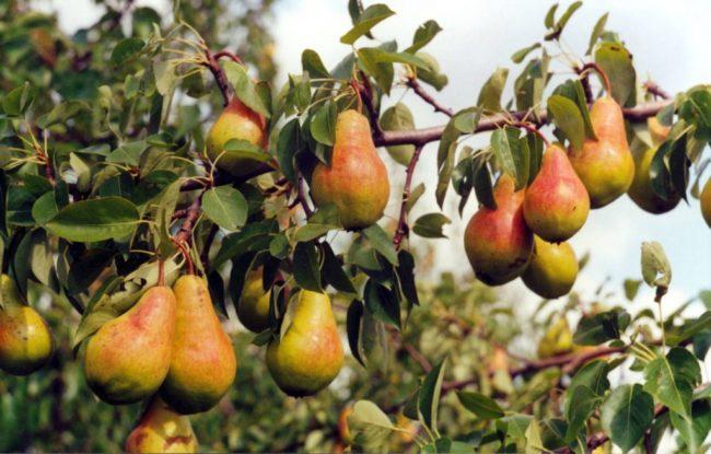 Плодоношение грушевого дерева после качественного опыления