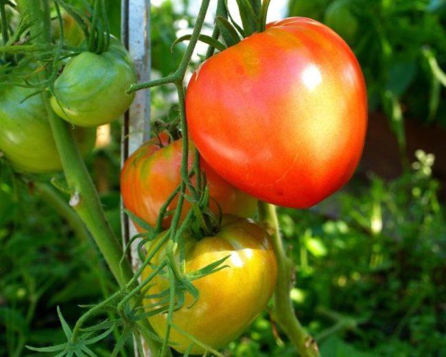 Плоды сортового томата в период активного созревания