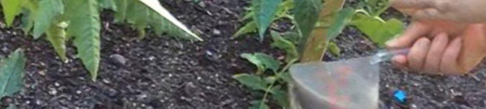 Подкормка помидоров под корень из дозированной миски
