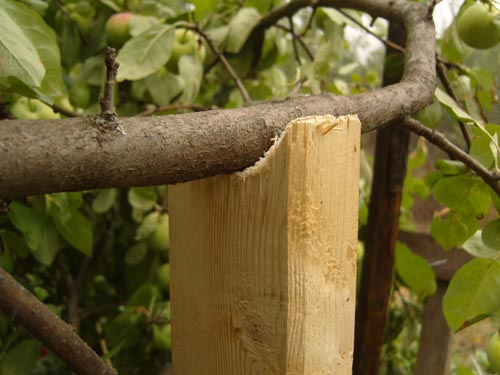 Деревянная подпорка под ветку груши с большим количеством плодов