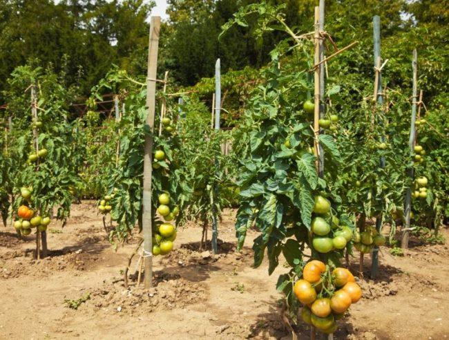 Подвязка кустов помидоры к вертикальным деревянным кольям