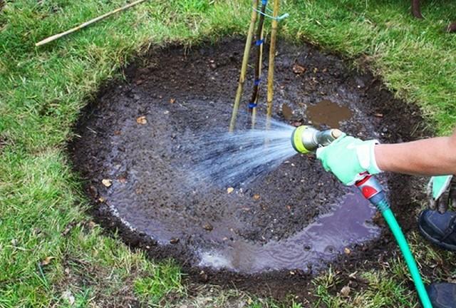 Полив саженца груши из садового распылителя