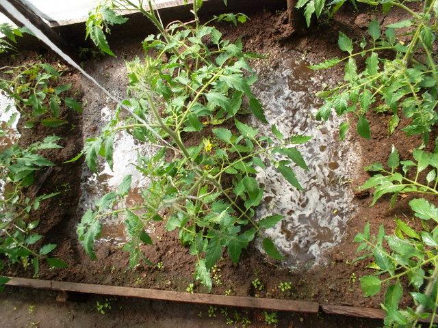 Обильный полив кустов томатов в борозды между грядами