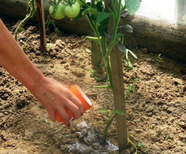 Полив помидоры под корень в тепличных условиях