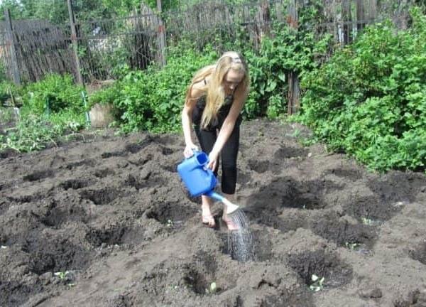 Полив рассады томатов после посадки на постоянное место