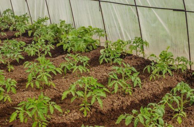 Молодые кусты помидоры в пленочной теплице