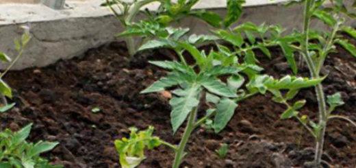 Молодые кусты помидор в теплице