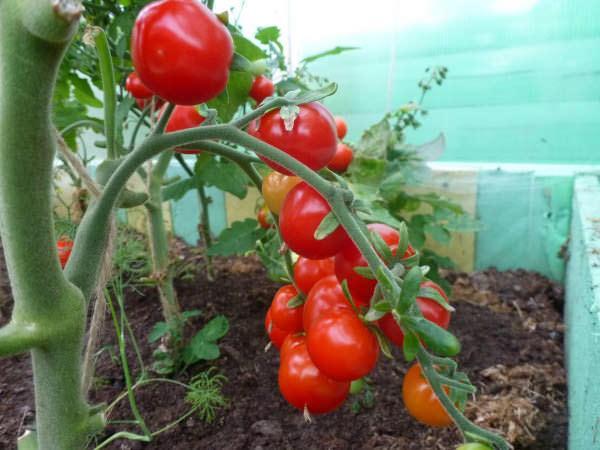 Спелые плоды красной помидоры в тепличных условиях
