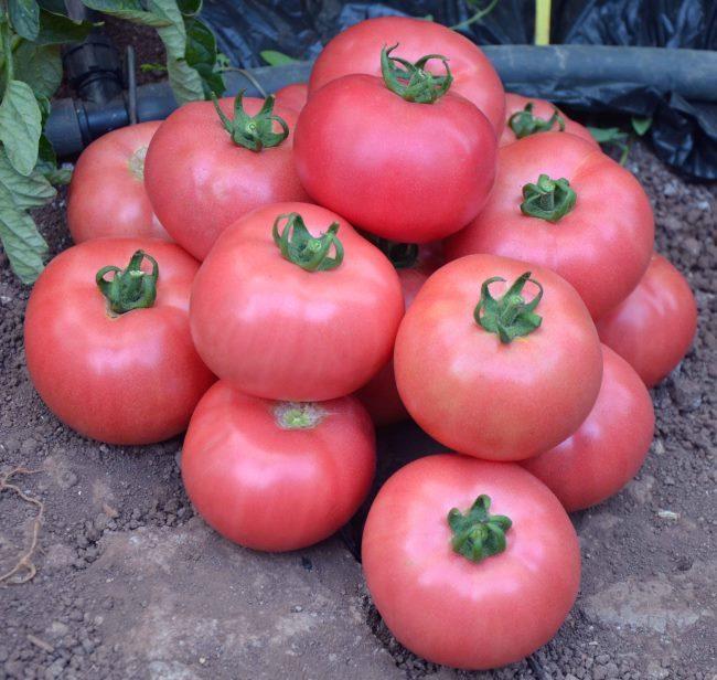 Кучка розовых помидор для сбора семян в домашних условиях