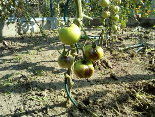 Плоды тепличного томата с бурыми гнилыми пятнами