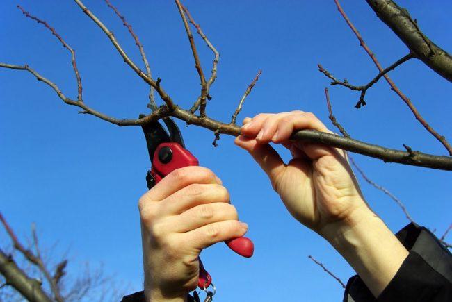 Весенняя обрезка грушевого дерева садовым секатором