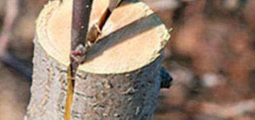Прививка палочки груши на отрезок от яблони