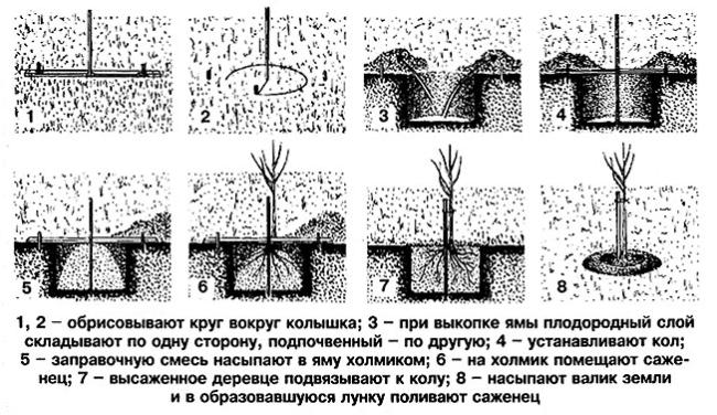 Схема и последовательность проведения посадки груши