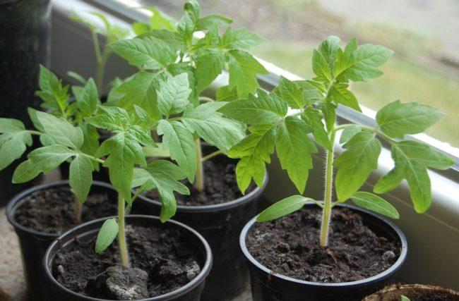 Зеленая рассада томатов в пластиковых контейнерах