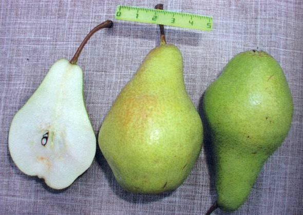 Размеры плода груши сорта Февральский сувенир и разрез мякоти