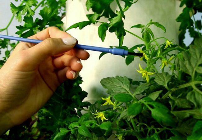 Самостоятельное опыление цветков томата посредством маленькой кисточки