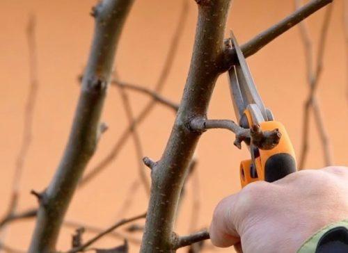 Обрезка груши поздней осенью с целью предотвращения грибковых заболеваний