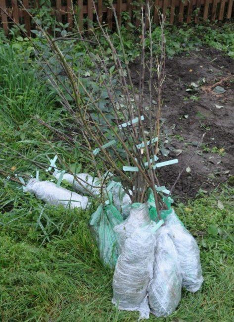 Саженцы груши с комом земли, обмотанным полиэтиленовой пленкой
