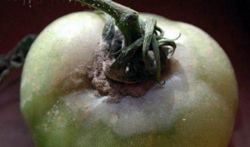 Серая гниль на зеленом плоде томата