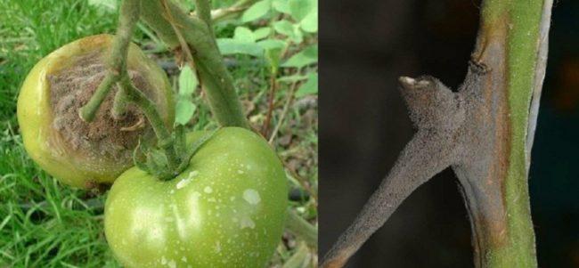 Ветка и плоды помидоры с признаками заражения серой гнилью
