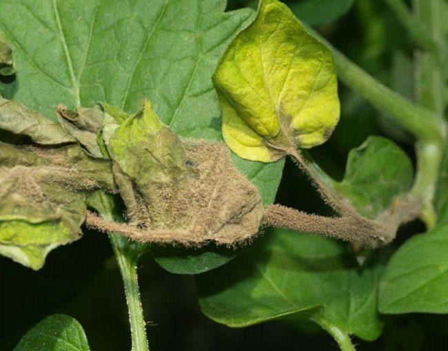 Серый налет на больных листьях томатов от грибковой инфекции