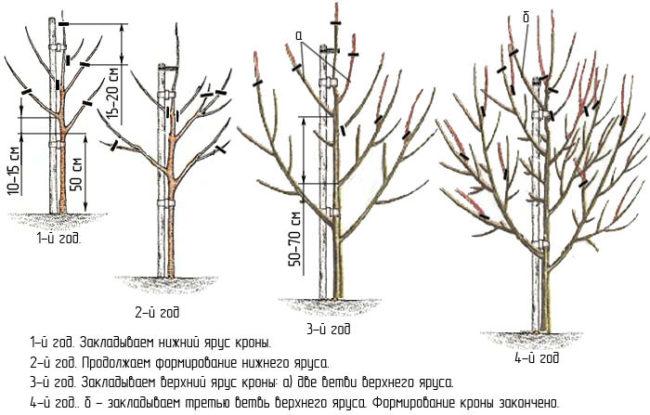 Схема обрезки грушевого дерева в течении первых лет жизни растения