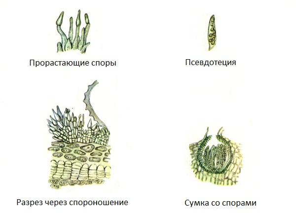 Схема развития грибка Venturia pirina Aderh, вызывающего паршу груши