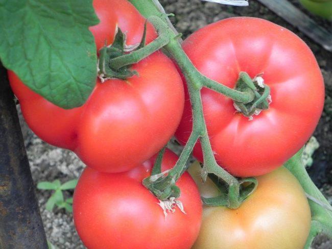 Созревание некислых плодов помидоров розового цвета на ветке