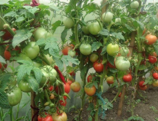 Неравномерное созревание помидоры в условиях теплицы