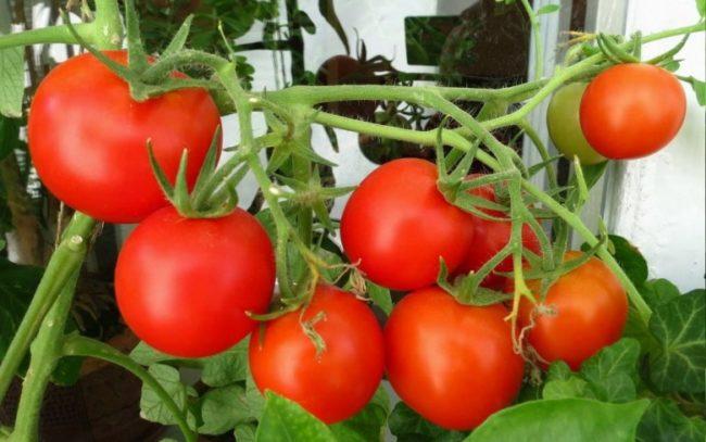 Крупная кисть красных помидоров на садовом участке