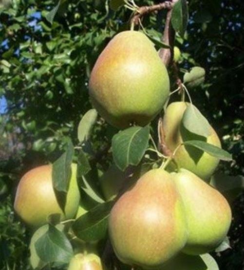 Ветка грушевого дерева со спелыми плодами зеленовато-розового окраса