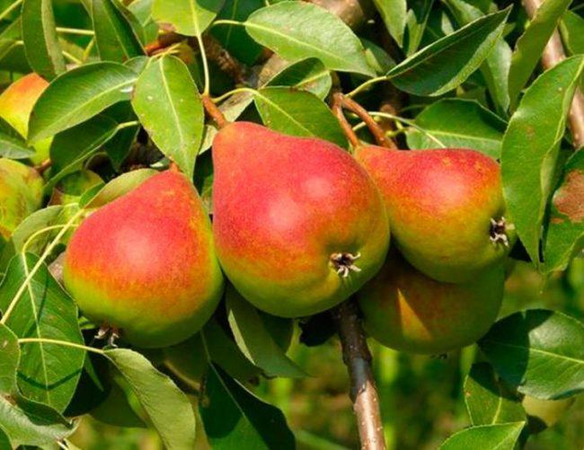 Три спелые груши красного окраса на здоровом дереве
