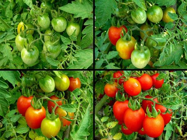 Этапы созревания томатов от зеленых до красных плодов