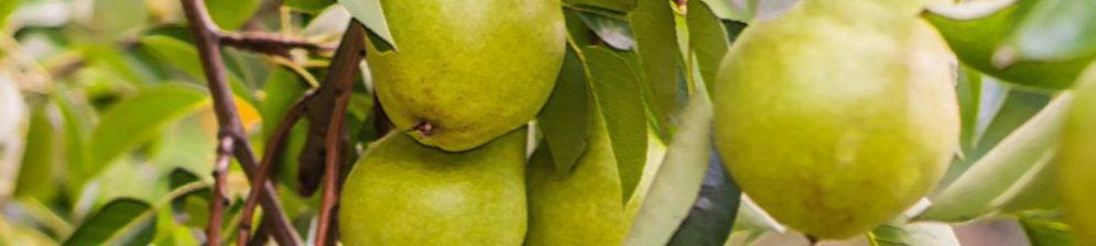 Груша Февральский сувенир на дереве плоды