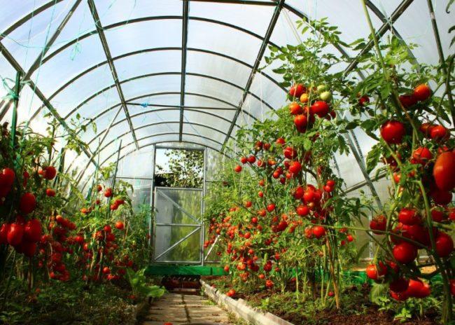 Красные плоды помидоры в теплице из поликарбоната