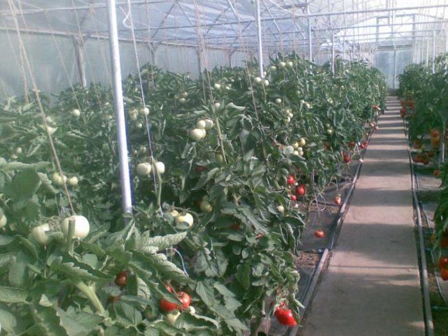 Теплица из поликарбоната с подвязанными кустами помидоры
